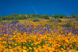 california u0027s desert wildflowers burst into bright u0027super bloom