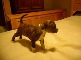 american pit bull terrier brindle brindle pit bull puppy playing youtube
