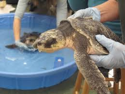 now climate change is coming for our sea turtles popular science