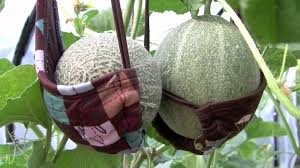 brassieres support cantaloupes youtube