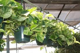 Easy To Care For Indoor Plants Fast Growing Indoor Plants Quora