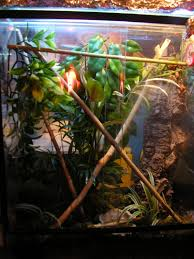 green tree frog setup reptile forums