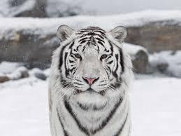 white tiger 14346 hdwpro