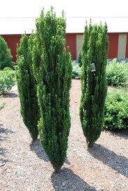 Articles With Tall Hedge Plants Australia Tag Tall Hedge Plants
