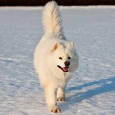 american eskimo dog in summer the 20 best cold weather dog breeds outside online