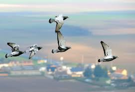 cuisine des pigeons voyageurs en belgique des pigeons voyageurs de compétition contrôlés