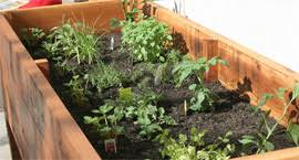 planting tomatoes in a vegetable planter box u2014 produce magazine