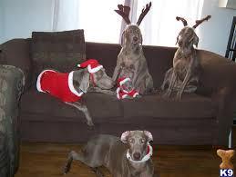 1682 best weims images on weimaraner puppies and doggies