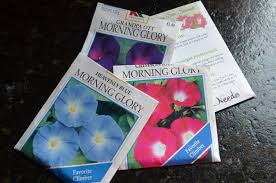 morning glory madness starts now garden in the burrow