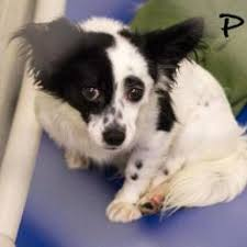 affenpinscher and chihuahua check out sierra madre sierra on petfinder https www