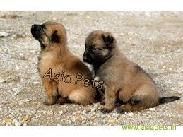 belgian shepherd dog puppies for sale belgian malinois puppies for sale in kolkata on best price