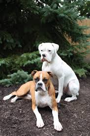 10 boxer dog facts preventing white boxers from being conceived page 11 boxer