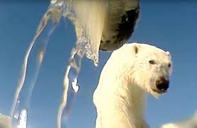 Two Polar Bears In A Bathtub Stunning Gopro Footage Shows Polar Bear Hunting Seals In The