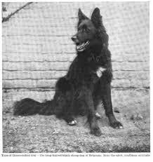 belgian sheepdog groenendael groenendael u201cbelgian sheepdog u201d 1911 natural history