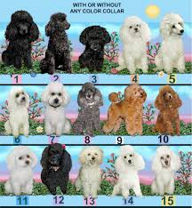 poodle vs bichon frise dog breed pictures and photos for dog choices