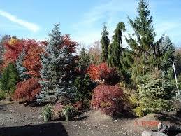 large and ornamental specimen tree nursery hickory