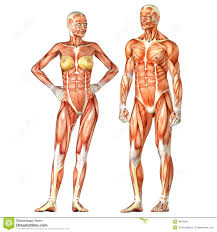Anatomy Videos Free Download Human Body Anatomy Male And Female Royalty Free Stock Image