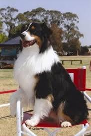 australian shepherd vs english shepherd black tri austalian shepherd vs bernese mt dog google search