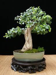 pot bonsai design the art of bonsai project feature gallery shohin bonsai