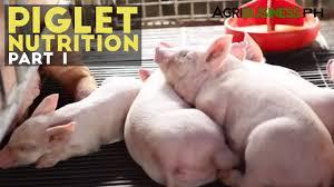 piglet nutrition part 1 importance of piglet nutrition