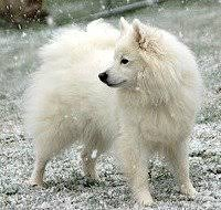 american eskimo dog what do they eat american eskimo dog small dog breeds