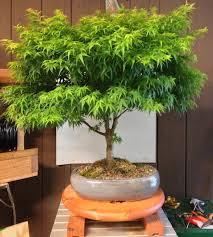 a cannabis bonsai tree awesome plant cannabis