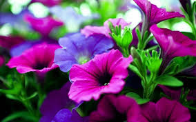 photos of flowers widescreen nature flower hdccom with download flowers wallpaper