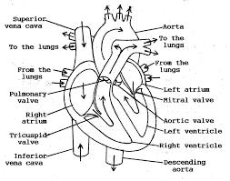 human heart blood flow diagram anatomy chart body