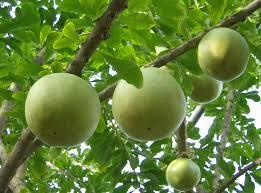 crescentia cujete beggar s bowl tree