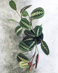 this colorful prayer plant prayer plant plants and gardens