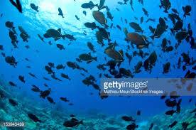 of black indian ocean triggerfish christmas island