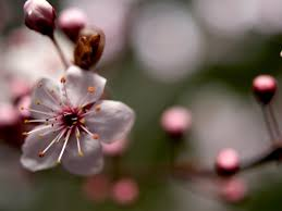 cherry flowers wallpapers cherry blossoms flowers wallpaper allwallpaper in 9642 pc en