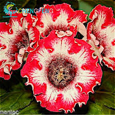 gloxinia seeds 100 particles lot new plants room flower planters