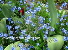 forget me not flower pictures species