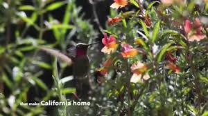 non native plants in california the california native plant society youtube