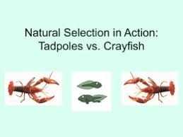 crayfish dissection answers