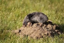 pests of the month moles and voles farmers u0027 almanac