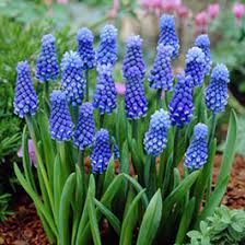 flower bulbs fall flower bulbs flower bulbs american