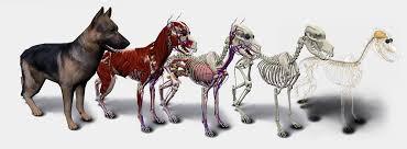 Internal Dog Anatomy 3d Dog Anatomy Software In Deutsch 3d Anatomy