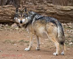 the once and future wolves of the southwest part 1 dreaming