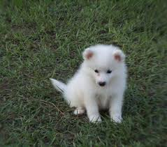 american eskimo dog maintenance american eskimo toy puppies images dog breeds puppies ideal