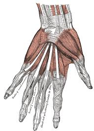 Anatomy Of Body Muscles The Muscles And Fasciæ Of The Hand Human Anatomy