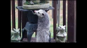 backyard possum eats a fruit tray youtube