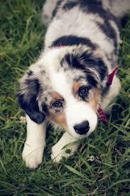 australian shepherd gif australian shepherd puppy cutest paw