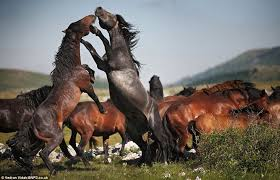 mustangs mating when horses attack the battle of stallion boxers fighting for