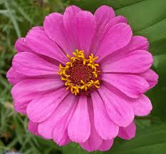 zinnia flower pictures of zinnia flowers zinnia flowers zinnia flower pictures