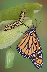 can moths or butterflies remember what they learned as caterpillars