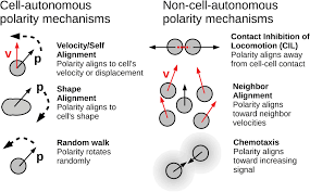 physical models of collective cell motility from cell to tissue