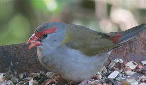 native birds of australia 2 red browed firetail finches youtube