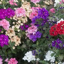 fleurs vivaces rustiques vivaces pour suspension plantes et jardins